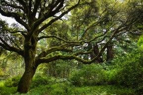 Candelabra Trail, Butano State Park, California