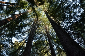 Portola Redwoods, La Honda, California